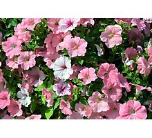 Pink flowers bush in the garden. Photographic Print