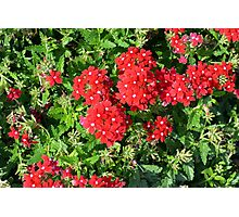 Red flowers bush. Photographic Print