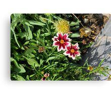 Two pink flowers with white margins in the garden. Canvas Print