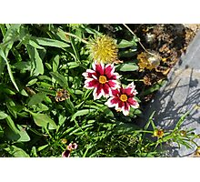 Two pink flowers with white margins in the garden. Photographic Print