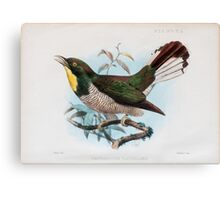 yellow-throated cuckoo (Chrysococcyx flavigularis). Canvas Print
