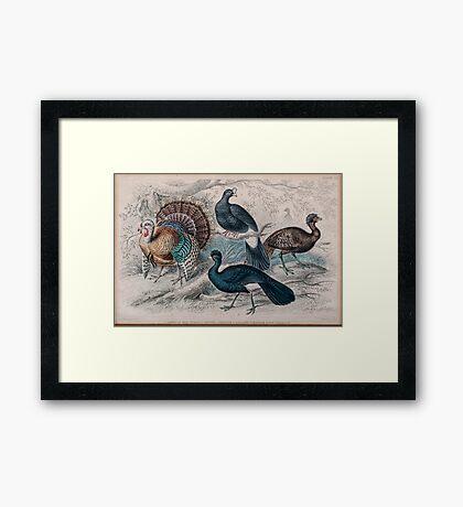 19th century artwork American Wild Turkey,  Framed Print