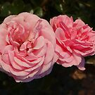 Rosa Home and Garden (2) by kalaryder