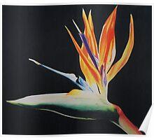 Bird of Paradise Print Poster