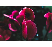 Droplets on Red Flowers Photographic Print