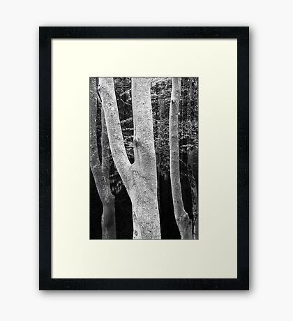 Beeches Framed Print