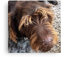 German Wirehaired Pointer dog Canvas Print