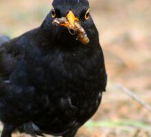 Blackbird with grub Sticker
