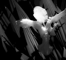 Angel Wings by G. Patrick Colvin