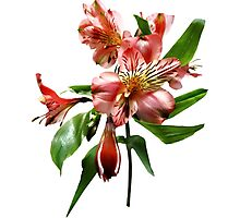 Pink Asiatic Lilies Closeup Photographic Print