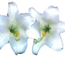 WHITE LILIES by WhiteDove Studio kj gordon