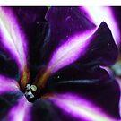 Petunia beauty by ANNABEL   S. ALENTON