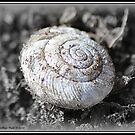 Spiral Shell  by Deb  Badt-Covell