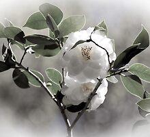 White Camellias by CarolM