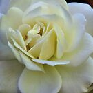 New White Rose Leith Park Victoria 20151228 6518   by Fred Mitchell