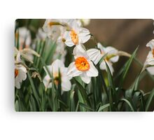 White Narcissus Canvas Print