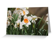 White Narcissus Greeting Card