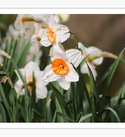 White Narcissus Sticker
