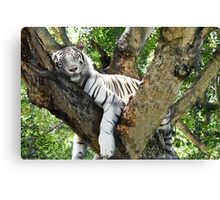 Tiger (4) - Casela - The Mauritius Collection Canvas Print