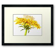 Flower dandelion large Framed Print
