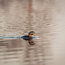 Pied-billed grebe 2016-1 by Thomas Young