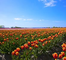 ...Tulips time in Holland ... by John44