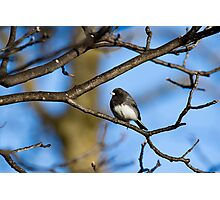 Dark-Eyed Junco Perched On a Limb Photographic Print
