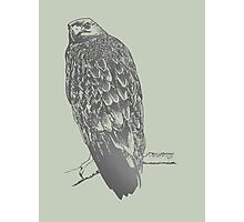 Eagle perched on its branch Photographic Print