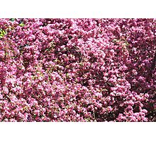 Background from Buds and Flowers of Blossoming Cherry Tree. Photographic Print