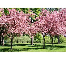 Blooming Cherry Garden. Photographic Print