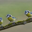 Blue Tit Trio by M.S. Photography/Art