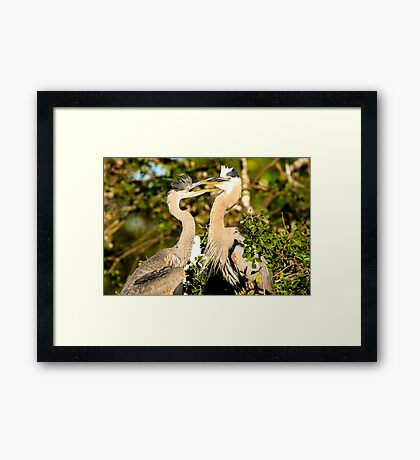 Great Blue Herons Adult and Young Framed Print