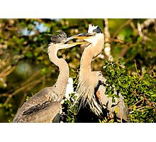 Great Blue Herons Adult and Young Photographic Print
