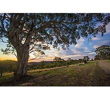 Old Gum Tree at Sunset Photographic Print