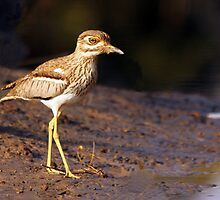 Water Thick-knee by Jennifer Sumpton