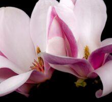 Blooming magnolia  flowers Sticker