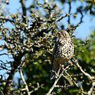Thrush in a hawthorn bush, County Kilkenny, Ireland by Andrew Jones