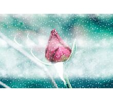 Digitally manipulated Pink garden rose in a blizzard  Photographic Print