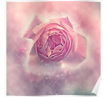 Digitally manipulated exploding Pink English rose as seen from above  Poster