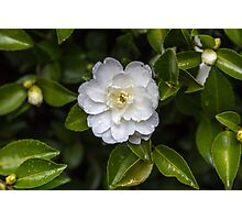 White Camellia with water droplets  Photographic Print