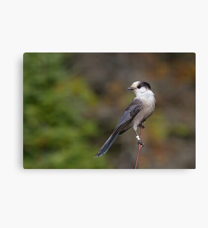 Gray Jay in Algonquin Park Canvas Print