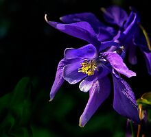 Purple Columbine by cclaude