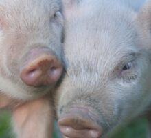 Cute Piglets Poster for Vegans/Vegetarians Sticker