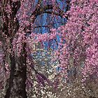 USA. Philadelphia. Fairmount Park. Blooming Tree. by vadim19