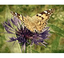 Retro orange butterfly on a cornflower Photographic Print