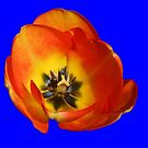 Orange and Yellow Tulip on Blue Background by MidnightMelody
