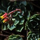 Small cactus flowers Leith Park Victoria 20151228 6523   by Fred Mitchell