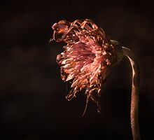 A dying Gerbera is still Beautiful by Clare Colins