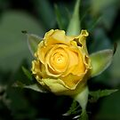 Yellow Rose by Deborah McGrath