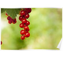 branch of red currants on a background of green leaves Poster